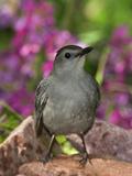 Gray Catbird (Dumetella Carolinensis) Rio Grande Valley, Texas Fotografie-Druck von Tom Vezo/Minden Pictures