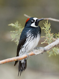 Acorn Woodpecker (Melanerpes Formicivorus), Cave Creek Canyon, Coronado Nat'l Forest, Arizona Photographic Print by Scott Leslie/Minden Pictures