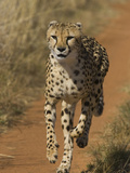 Cheetah (Acinonyx Jubatus) Rescued from Trap on Livestock Farm, Cheetah Conservation Fund, Namibia Photographic Print by Suzi Eszterhas/Minden Pictures