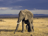 African Elephant (Loxodonta Africana) Mother Protecting Calf, Masai Mara, Kenya Photographic Print by Suzi Eszterhas/Minden Pictures