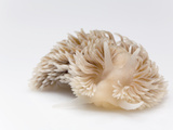 Shagrug Nudibranch (Aeolidia Papillosa) Length Is Two Centimeters, Helgoland, Germany Photographic Print by Ingo Arndt/Minden Pictures