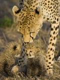 Cheetah (Acinonyx Jubatus) Mother Nuzzles Seven Day Old Cubs, Maasai Mara Reserve, Kenya Photographic Print by Suzi Eszterhas/Minden Pictures