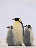 Emperor Penguin (Aptenodytes Forsteri) Parent with Two Chicks, Antarctica Photographic Print by Konrad Wothe