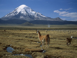 Alpaca (Lama Pacos) Mother and Young in Grassland Near Volcano, Lauca Nat'l Park, Chile Photographic Print by Thomas Marent/Minden Pictures