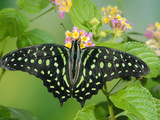 Green-Spotted Swallowtail (Graphium Tynderaeus) Butterfly, Tangkoko Batuangus Reserve, Indonesia Fotografie-Druck von Michael and Patricia Fogden/Minden Pictures