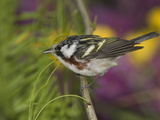 Chestnut-Sided Warbler (Dendroica Pensylvanica) Perched on a Branch, Rio Grande Valley, Texas Fotografie-Druck von Tom Vezo/Minden Pictures