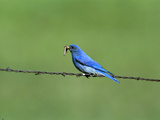 Mountain Bluebird (Sialia Currucoides) Male Perching on Barbwire Fence with Prey in Beak, Montana Photographic Print by Tom Vezo/Minden Pictures