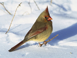 Northern Cardinal (Cardinalis Cardinalis) Female on Snowy Ground, Long Island, New York Photographic Print by Tom Vezo/Minden Pictures
