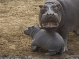 Hippopotamus (Hippopotamus Amphibius) Mother with Young Calf, Masai Mara Nat'l Reserve, Kenya Photographic Print by Suzi Eszterhas/Minden Pictures