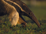 Giant Anteater (Myrmecophaga Tridactyla) Feeding on Ants, Southern Pantanal, Brazil Photographic Print by Theo Allofs/Minden Pictures