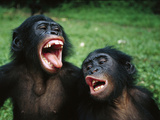 Bonobo or Pygmy Chimpanzee (Pan Paniscus) Juvenile Pair Making Funny Faces Photographic Print by Cyril Ruoso
