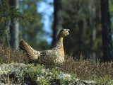 Capercaillie (Tetrao Urogallus) Female Sitting on Ground, Sweden Photographic Print by Konrad Wothe