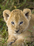African Lion (Panthera Leo) Five Week Old Cub, Vulnerable, Masai Mara Nat'l Reserve, Kenya Photographic Print by Suzi Eszterhas/Minden Pictures