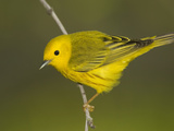 Yellow Warbler (Dendroica Petechia) Male Portrait, Rio Grande Valley, Texas Photographic Print by Tom Vezo/Minden Pictures
