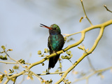 Broad-Billed Hummingbird (Cynanthus Latirostris) in Palo Verde Tree, Green Valley, Arizona Photographic Print by Tom Vezo/Minden Pictures