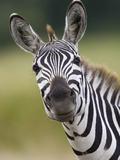 Burchell's Zebra (Equus Burchellii) Portrait, Masai Mara, Kenya Photographic Print by Suzi Eszterhas/Minden Pictures