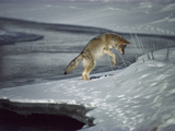 Coyote (Canis Latrans) Pouncing on Small Rodent Beneath the Snow on Riverbank Photographic Print by Michael S. Quinton