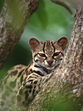 Portrait of Orphaned Wild Margay (Leopardus Wiedii) Kitten, Costa Rica Photographic Print by Gerry Ellis