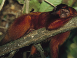 Golden Lion Tamarin (Leontopithecus Rosalia) Resting in Tree, Ilheus, Bahia, Brazil Photographic Print by Mark Moffett