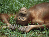 Orangutan (Pongo Pygmaeus) Laying in Grass with Head Tilted Back  Borneo