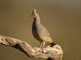 Scaled Quail (Callipepla Squamata) Portrait, Green Valley, Arizona Photographic Print by Tom Vezo/Minden Pictures