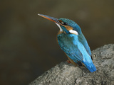 Kingfisher (Alcedo Atthis) Female, Bandhavgarh Nat'l Park, India Photographic Print by Theo Allofs/Minden Pictures