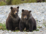 Grizzly Bear (Ursus Arctos Horribilis) Pair of 6 to 8 Month Old Cubs, Katmai Nat'l Park, Alaska Photographic Print by Suzi Eszterhas/Minden Pictures