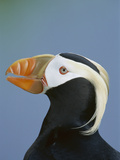 Tufted Puffin (Fratercula Cirrhata) Portrait, Pribilof Islands, Alaska Photographic Print by Theo Allofs/Minden Pictures