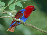 Eclectus Parrot (Eclectus Roratus) Male, Papua New Guinea Photographic Print by Thomas Marent/Minden Pictures