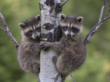 Raccoon (Procyon Lotor) Two Babies Climbing Tree, North America Photographic Print by Tim Fitzharris/Minden Pictures