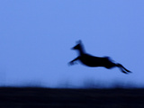 Roe Deer (Capreolus Capreolus) Jumping, Kamchatka, Russia Photographic Print by Sergey Gorshkov/Minden Pictures