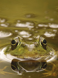 Bronze Frog (Rana Clamitans), West Stony Lake, Nova Scotia, Canada Photographic Print by Scott Leslie/Minden Pictures
