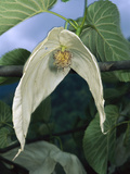 Dove Tree (Davidia Involucrata) Blossom, Sichuan Province, China Photographic Print by Mark Moffett