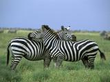 Zebra (Equus Burchellii) Pair Resting, Serengeti National Park, Tanzania Photographic Print by Konrad Wothe