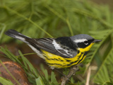 Magnolia Warbler (Dendroica Magnolia) Male, Rio Grande Valley, Texas Photographic Print by Tom Vezo/Minden Pictures