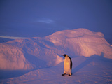 Emperor Penguin (Aptenodytes Forsteri) Returning to Nesting Rookery, Edward VIII Gulf, Antarctica Photographic Print by Tui De Roy/Minden Pictures