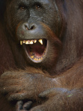 Orangutan (Pongo Pygmaeus) Young Male Yawning, Tanjung Puting Nat'l Park, Borneo, Malaysia Photographic Print by Theo Allofs/Minden Pictures
