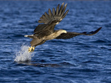 White-Tailed Eagle (Haliaeetus Albicilla) Catching Fish, Norway Photographic Print by Ingo Arndt/Minden Pictures