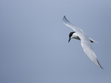 Gull-Billed Tern (Gelochelidon Nilotica) Flying, Rio Grande Valley, Texas Photographic Print by Tom Vezo/Minden Pictures
