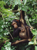 Chimpanzee (Pan Troglodytes) Swinging In, Tree, Gombe Stream National Park, Tanzania Photographic Print by Gerry Ellis