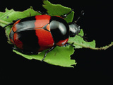 Scarab Beetle, Pipeline Road, Panama Photographic Print by Mark Moffett