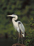 Great Blue Heron (Ardea Herodias) Perching, Florida Fotodruck von Tom Vezo/Minden Pictures