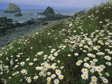 Daisies Along Coastline with Sea Stacks in Background, Redwood Nat'l Park, California Photographic Print by Theo Allofs/Minden Pictures
