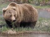Brown Bear (Ursus Arctos) Kamchatka, Russia Photographic Print by Sergey Gorshkov/Minden Pictures