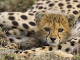 Cheetah (Acinonyx Jubatus) Cub Portrait, Maasai Mara Reserve, Kenya Fotografisk tryk af Suzi Eszterhas/Minden Pictures