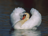 Mute Swan (Cygnus Olor) Male Threat Displaying, Switzerland Photographic Print by Thomas Marent/Minden Pictures