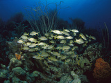 Coral Reef Scene with Schooling Grunts (Haemulon Sp), Bonaire, Caribbean Photographic Print by Scott Leslie/Minden Pictures