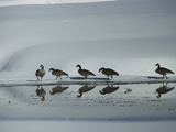 Canada Goose (Branta Canadensis) Group Reflected Along Pond in Winter, Idaho Photographic Print by Michael S. Quinton