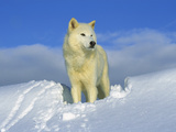 Arctic Wolf (Canis Lupus) Portrait of White Wolf in the Snow, Idaho Fotodruck von Tom Vezo/Minden Pictures
