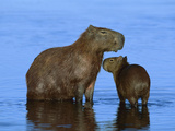 Capybara (Hydrochoerus Hydrochaeris) Mother and Young, Pantanal, Brazil Photographic Print by Theo Allofs/Minden Pictures